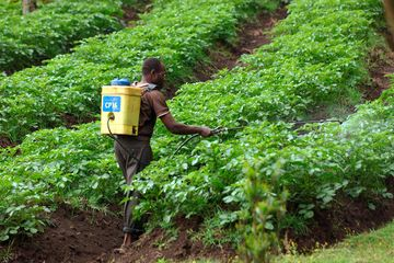 Rwanda: A farmer sprays pesticide on his tea plantation. Photo: Wolfgang Langenstrassen/picture-alliance/dpa